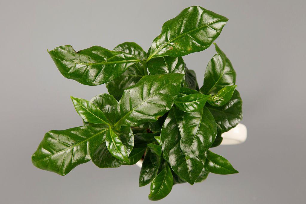 кофе растение в горшке