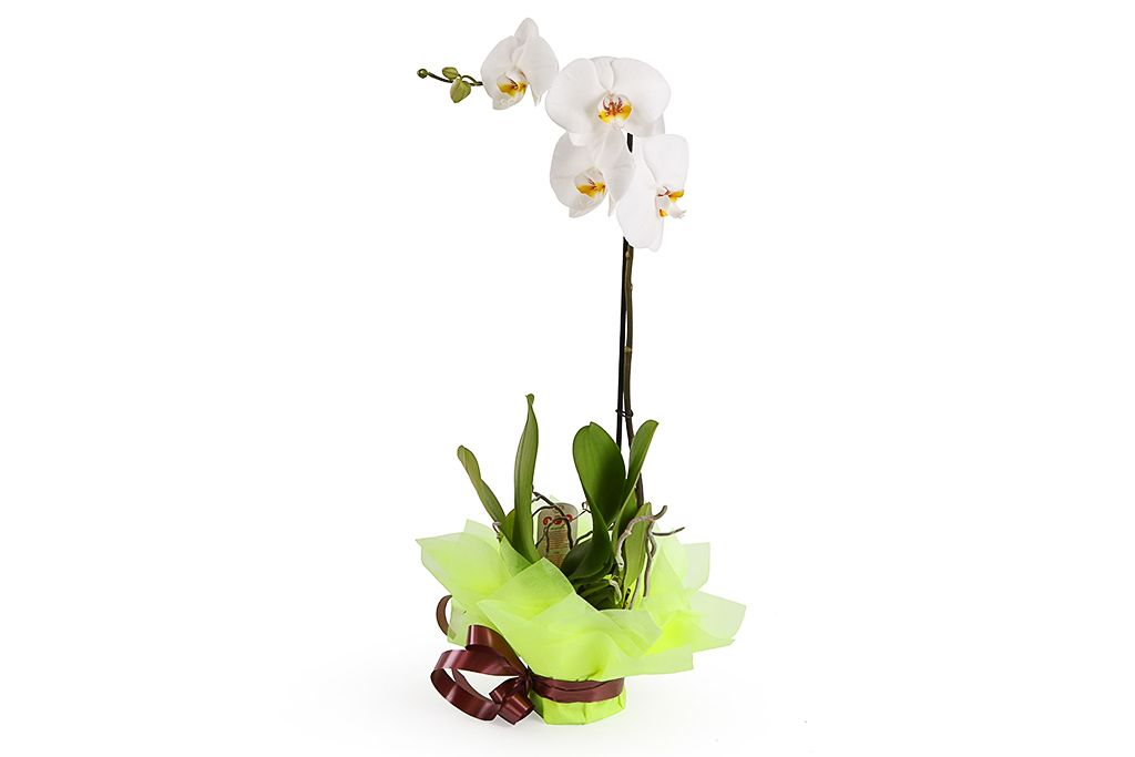Орхидея Фаленопсис белая (1 ствол) фото
