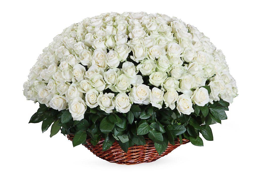 Букет 251 роза Аваланш в корзине фото