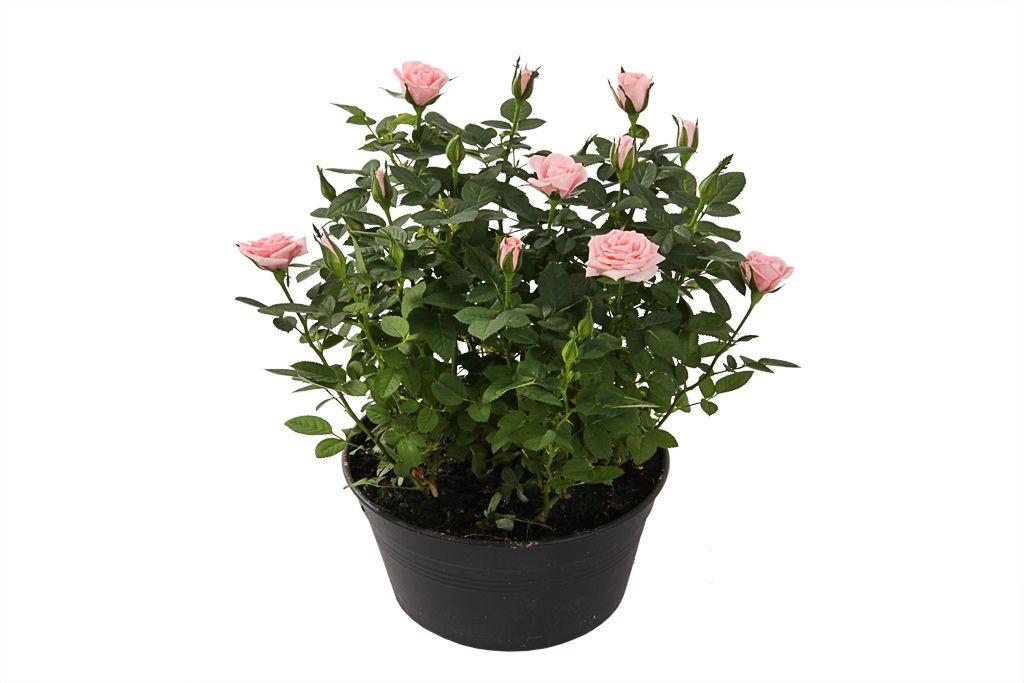 Кустовая роза в горшке (розовая) фото
