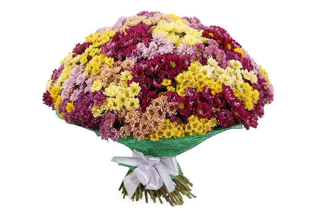Букет 151 хризантема Сантини фото